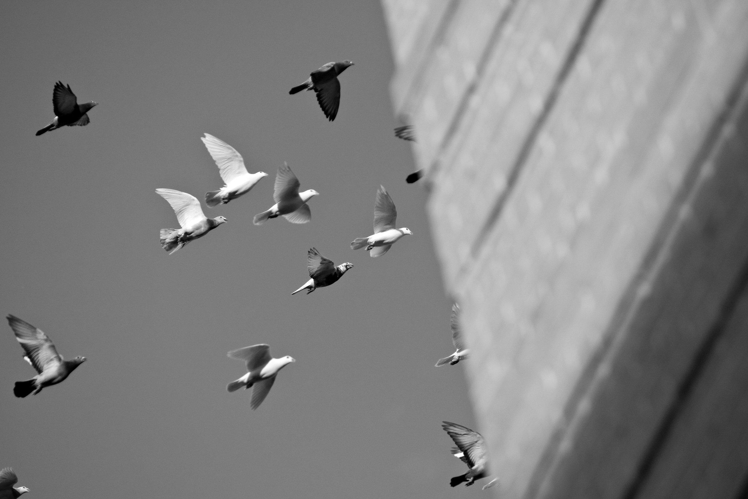 pigeon001.jpg