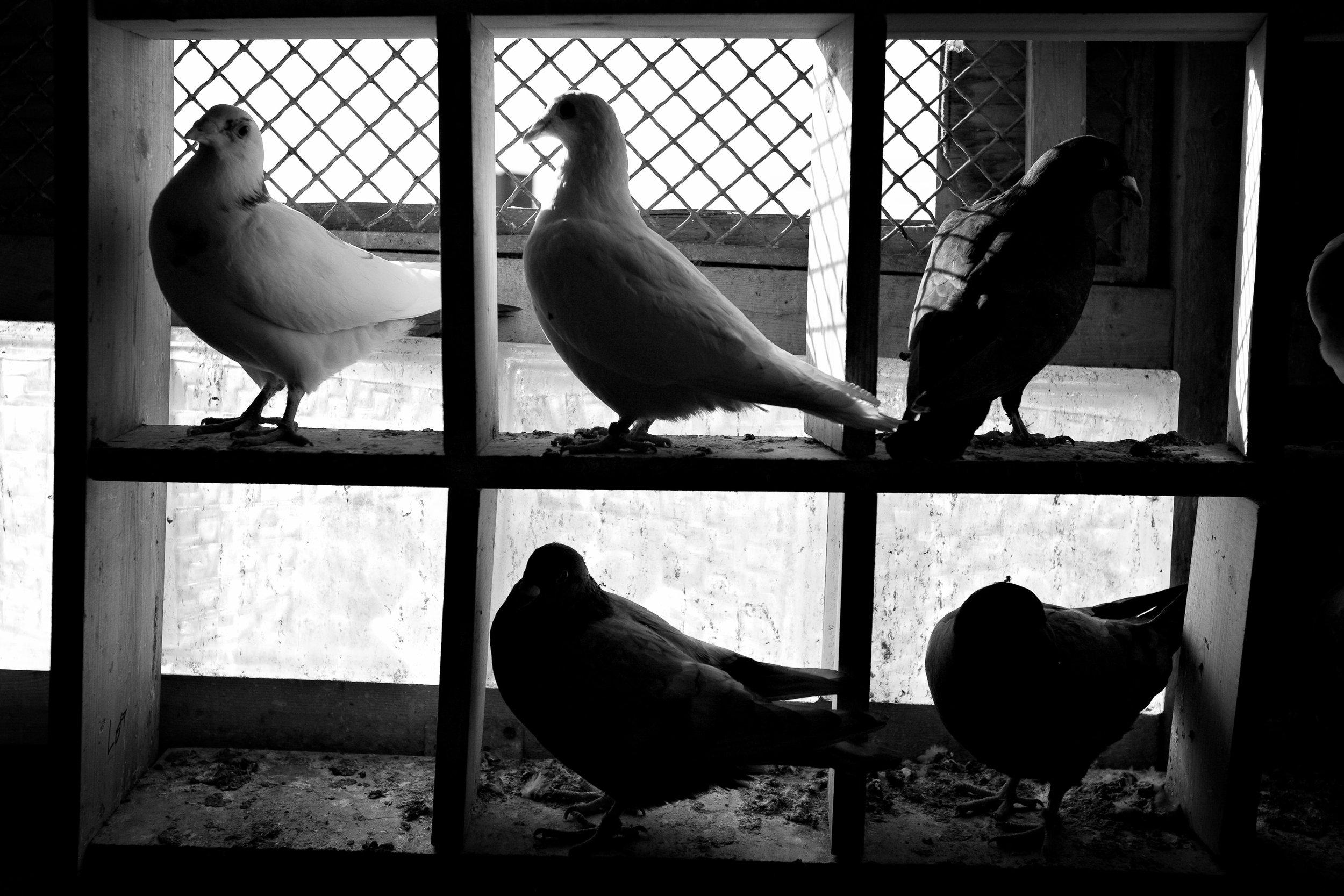 pigeon013.jpg
