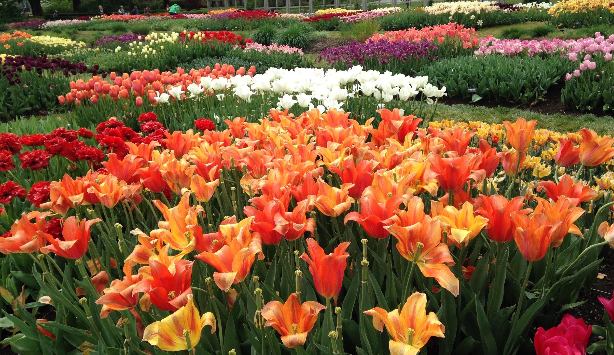 tulips.longwoodgardens