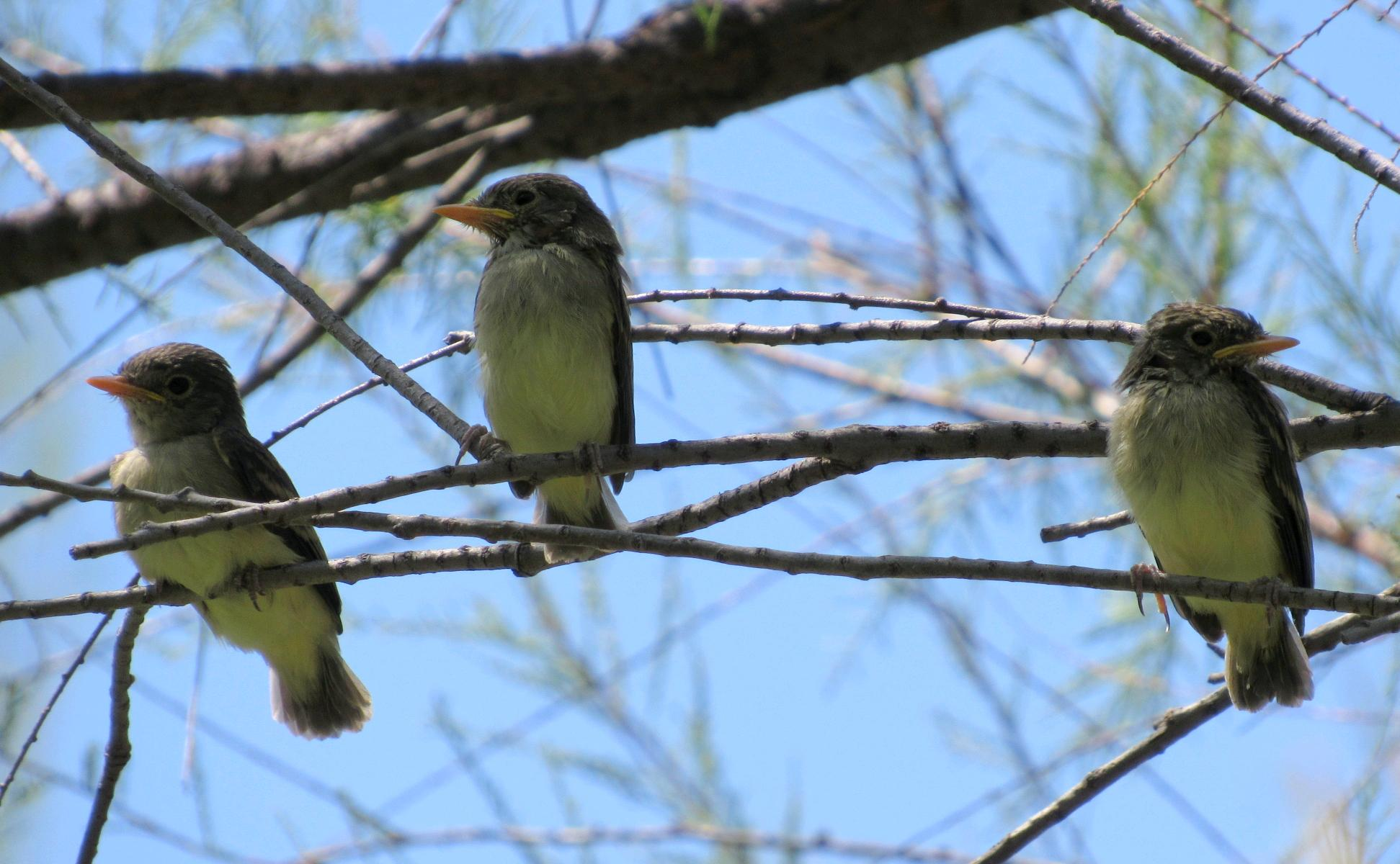 Southwestern willow flycatcher - Experts can distinguish the Southwestern willow flycatchers from other look-alike species by their loud, raspy