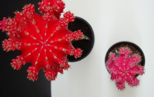 red and pink moon cacti