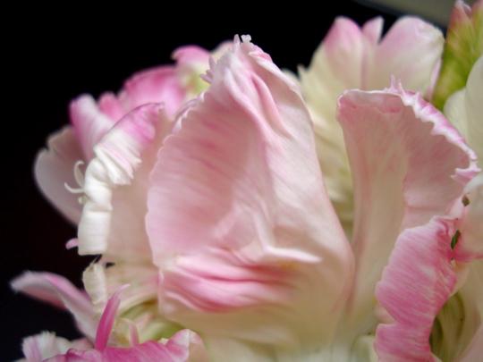 close-up-ruffly-edge-pink