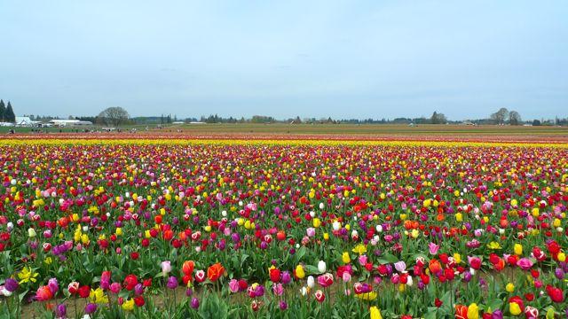 tulip4