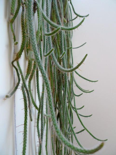 di-rat-tail-cactus.jpeg
