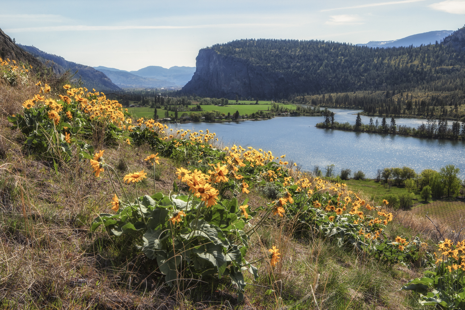 McIntyre Bluff and Balsamroot sunflower.