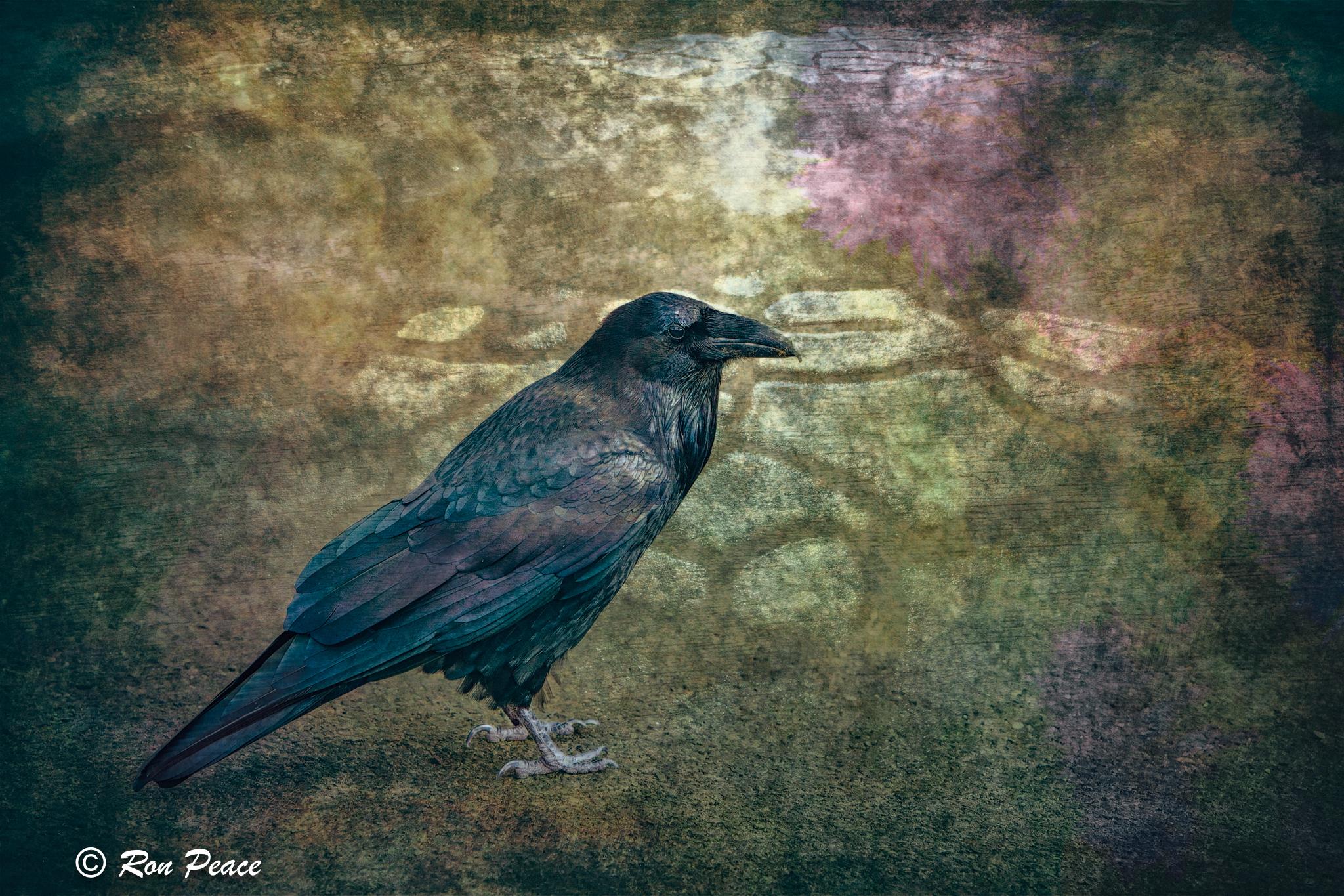 Raven 2.jpg
