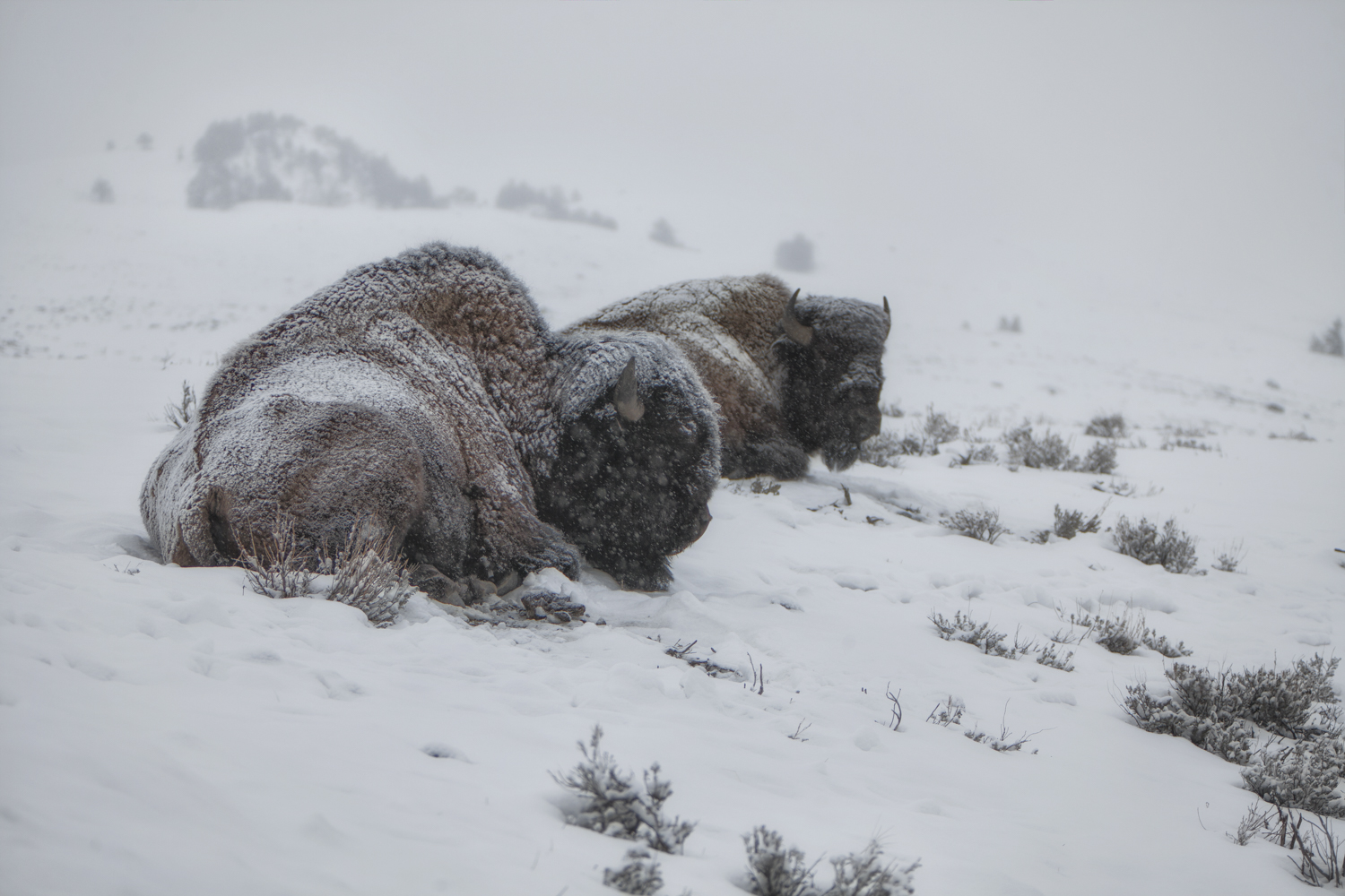 Bison weathering a storm, you can feel a chill just viewing this image