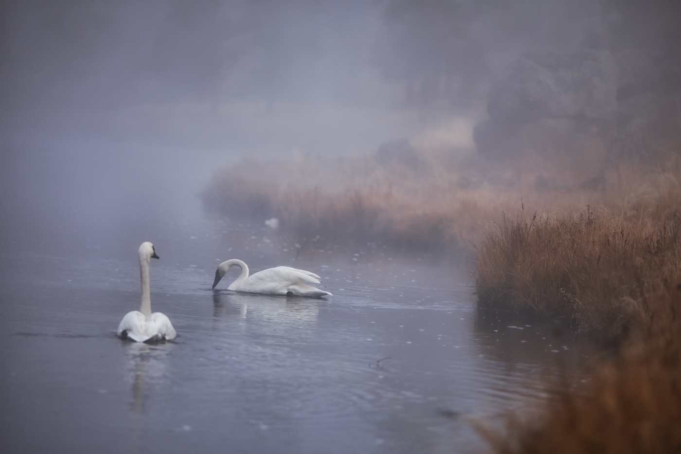 Swans in the morning mist, listen to the silence