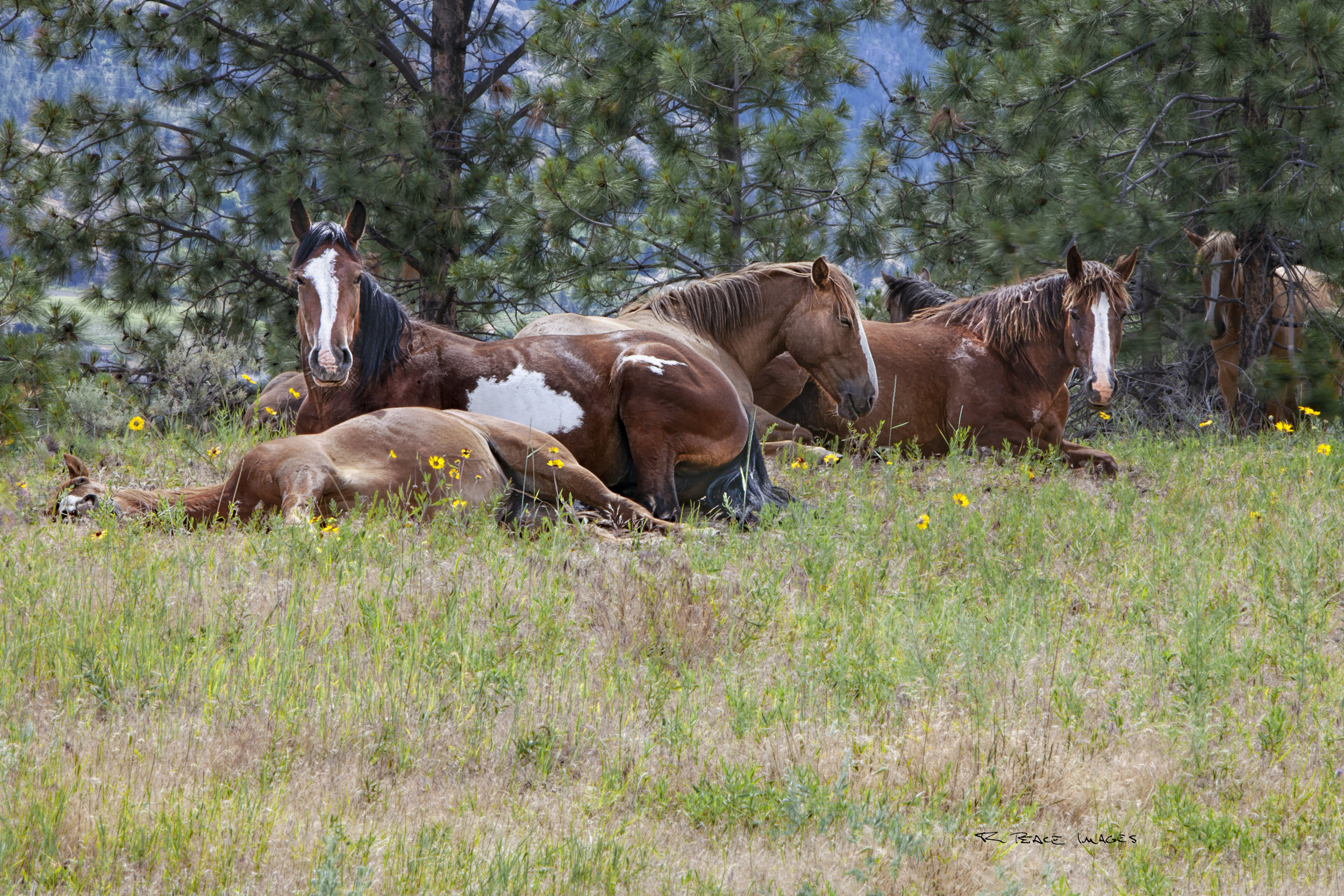 Syilx wild horses slumber in the warm spring sunshine