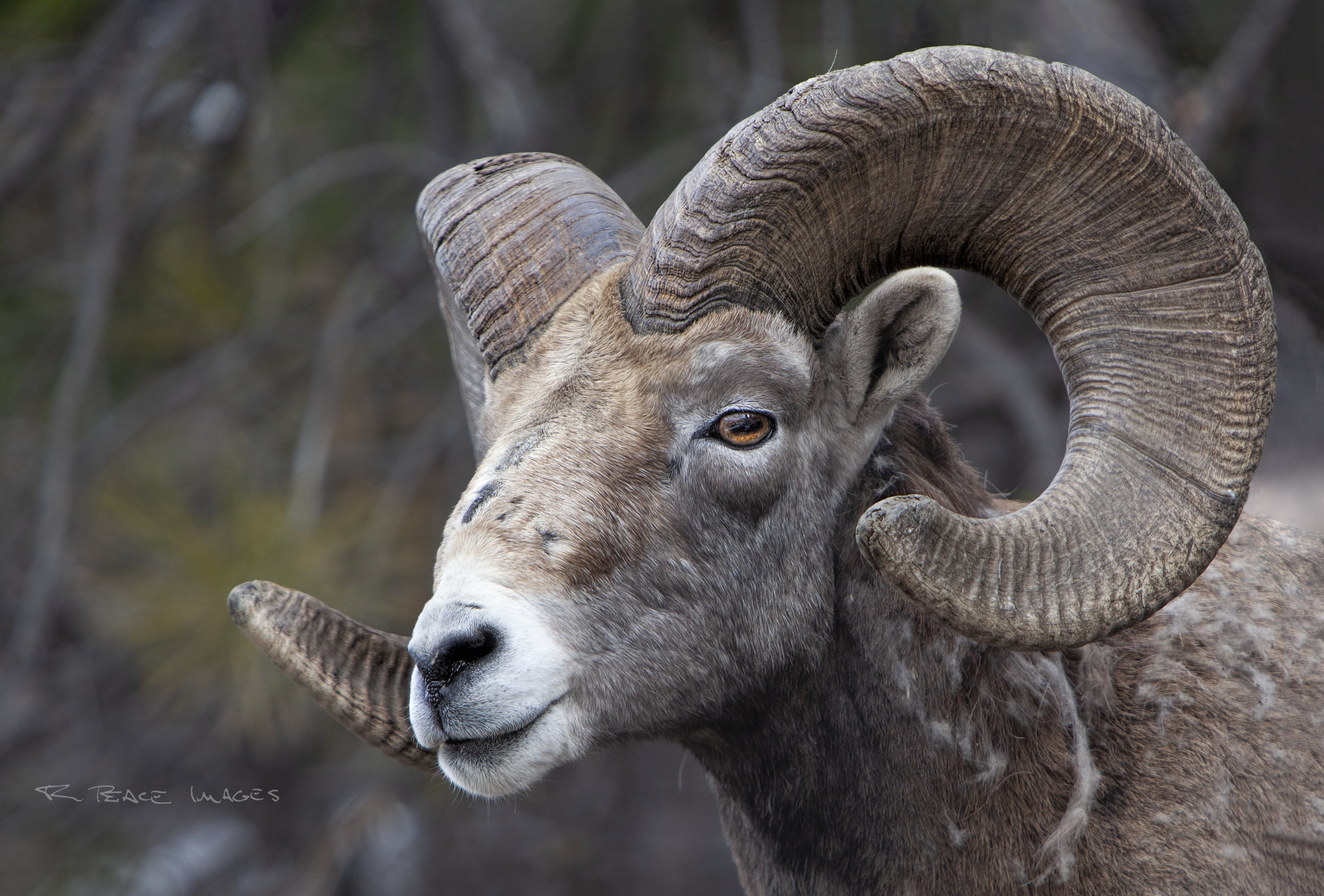 California Bighorn Ram displays his magnificent horns in this close up shot