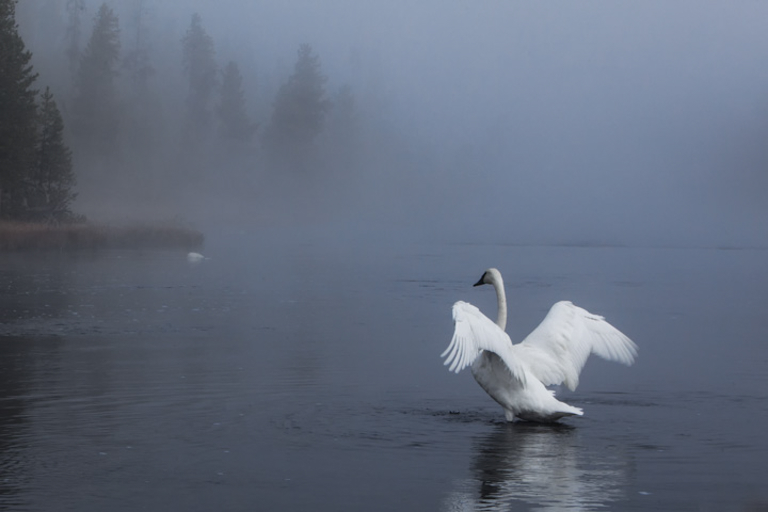 Swan about to lift off into the morning mist