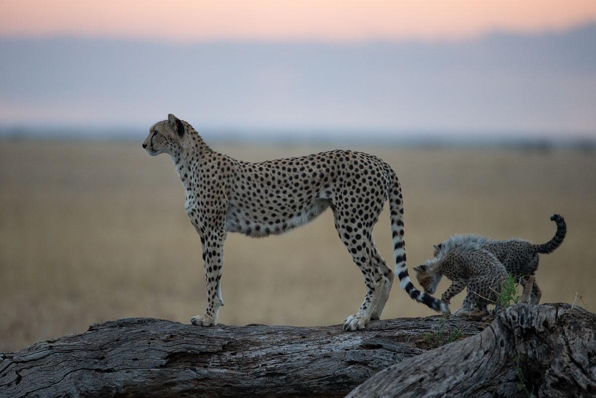 cheetah_30I8168.jpg