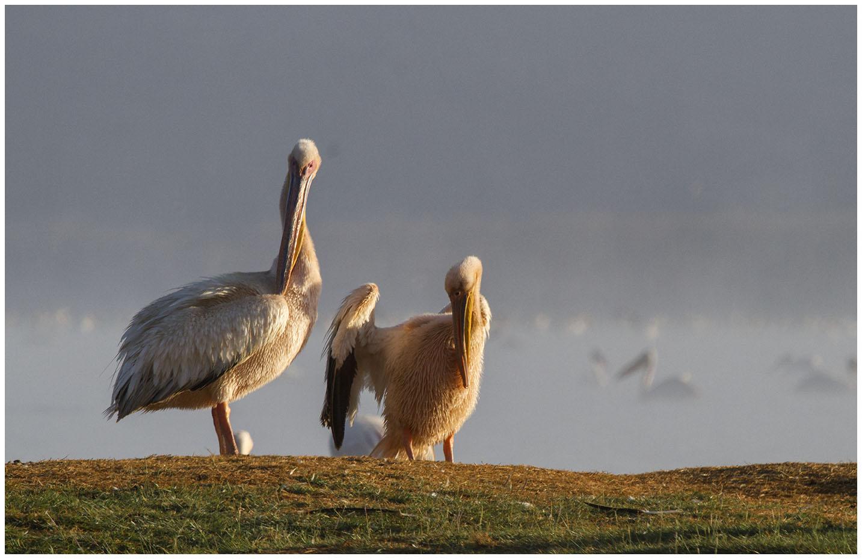 Pelicans enjoying the early morning sun