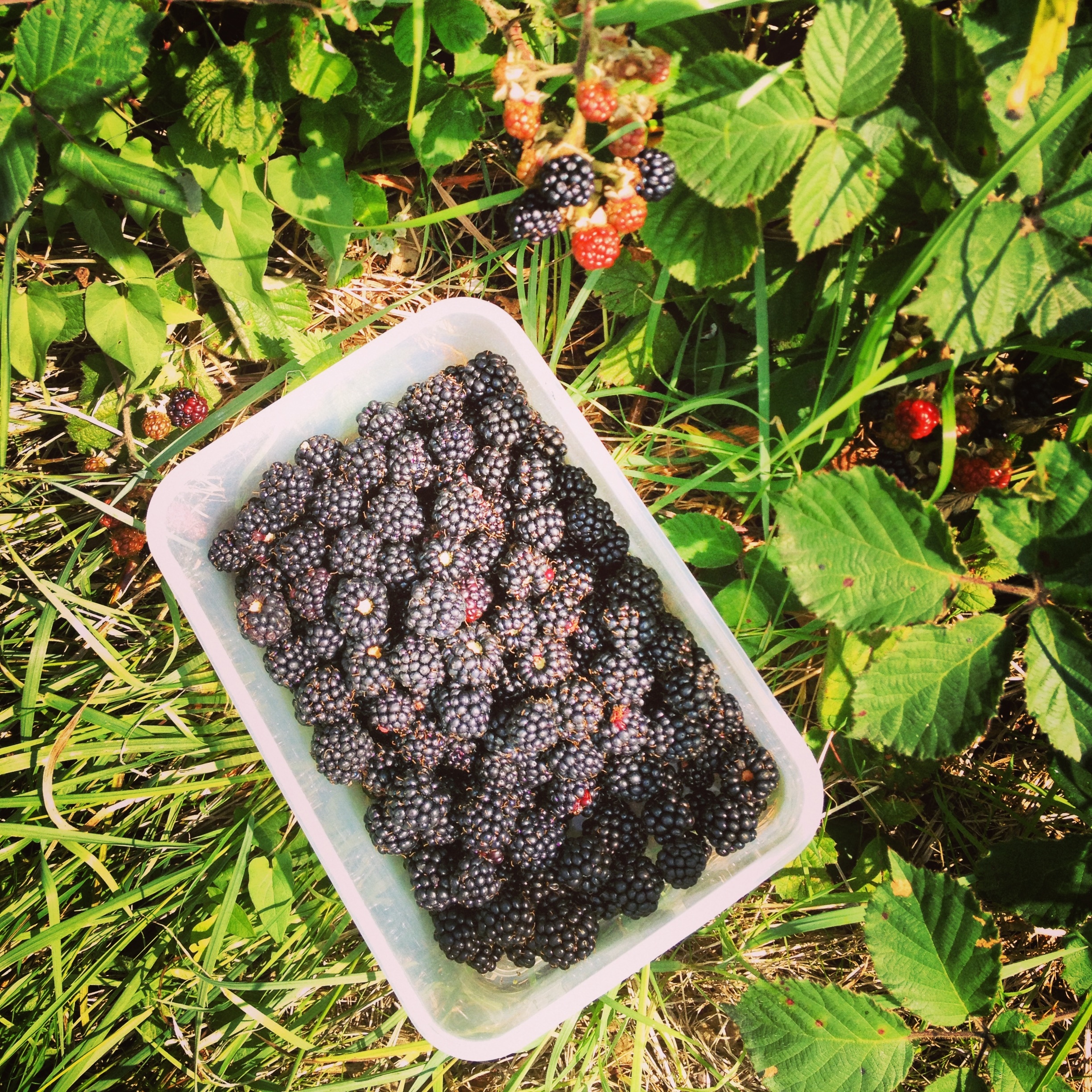 Fresh blackberries picked in the countryside near my house... thank goodness for Instagram to capture the loveliness!