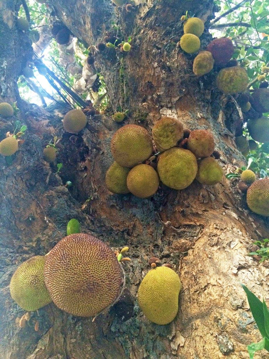 This is a photo of a jackfruit tree that I took in Chaing Mai Thailand last year!