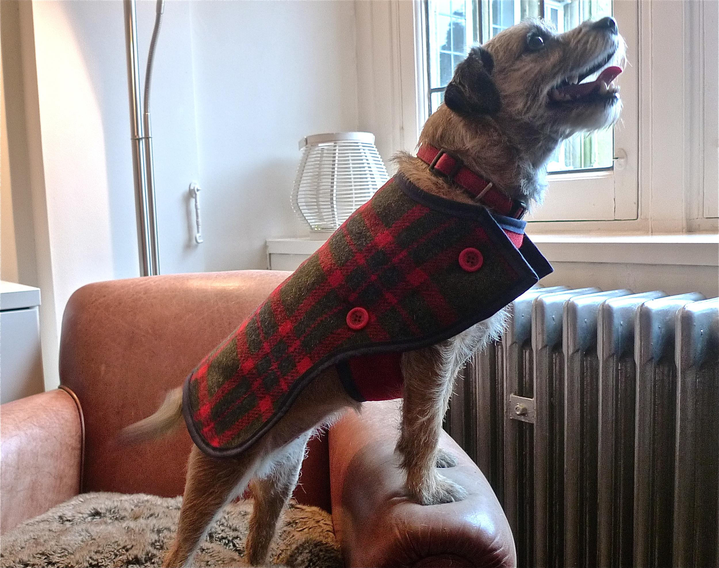 Dottie, a Border Terrier in her 2-strap Harris Tweed Coat