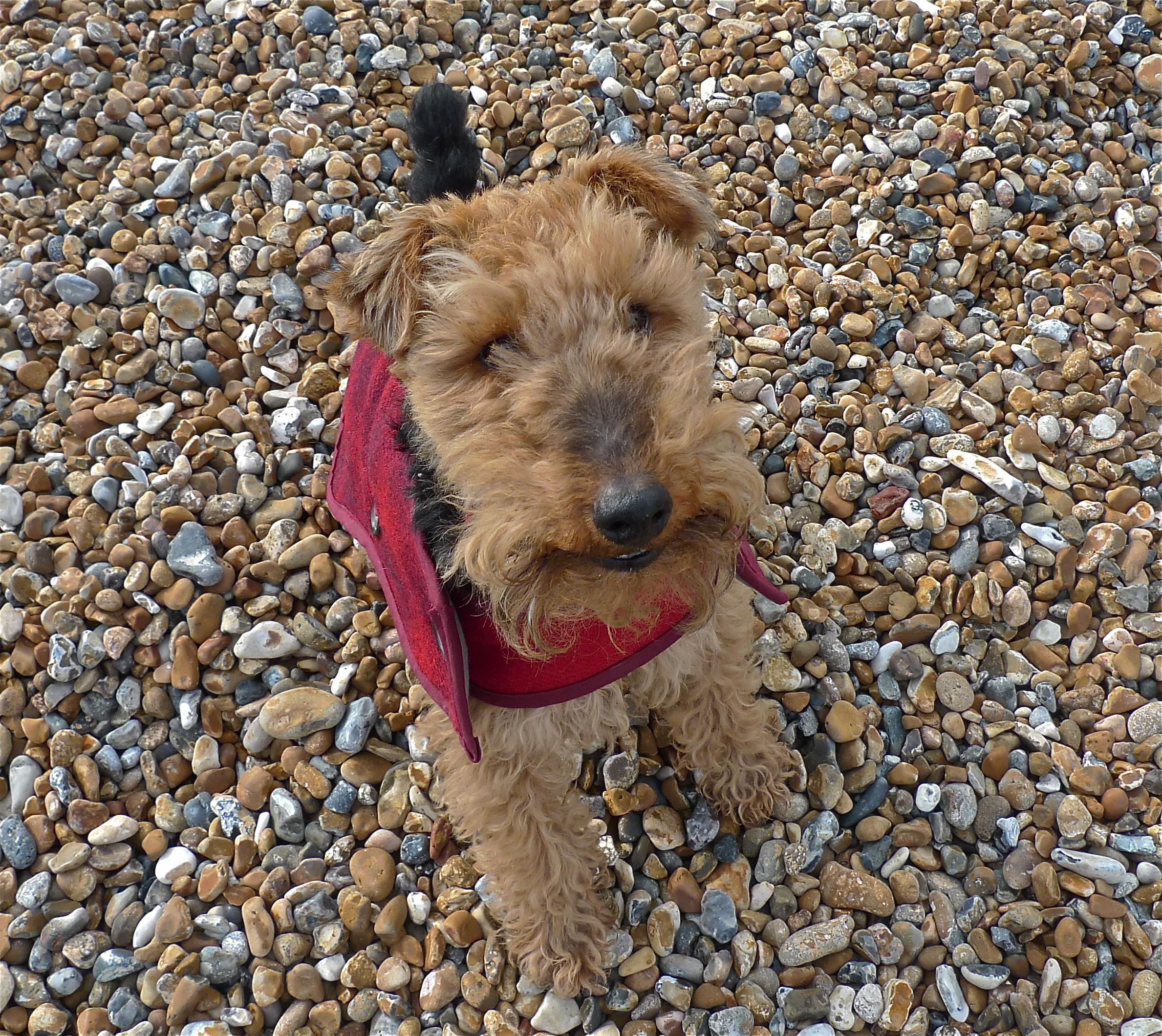 Noodles in his Harris Tweed dog coat on Brighton beach