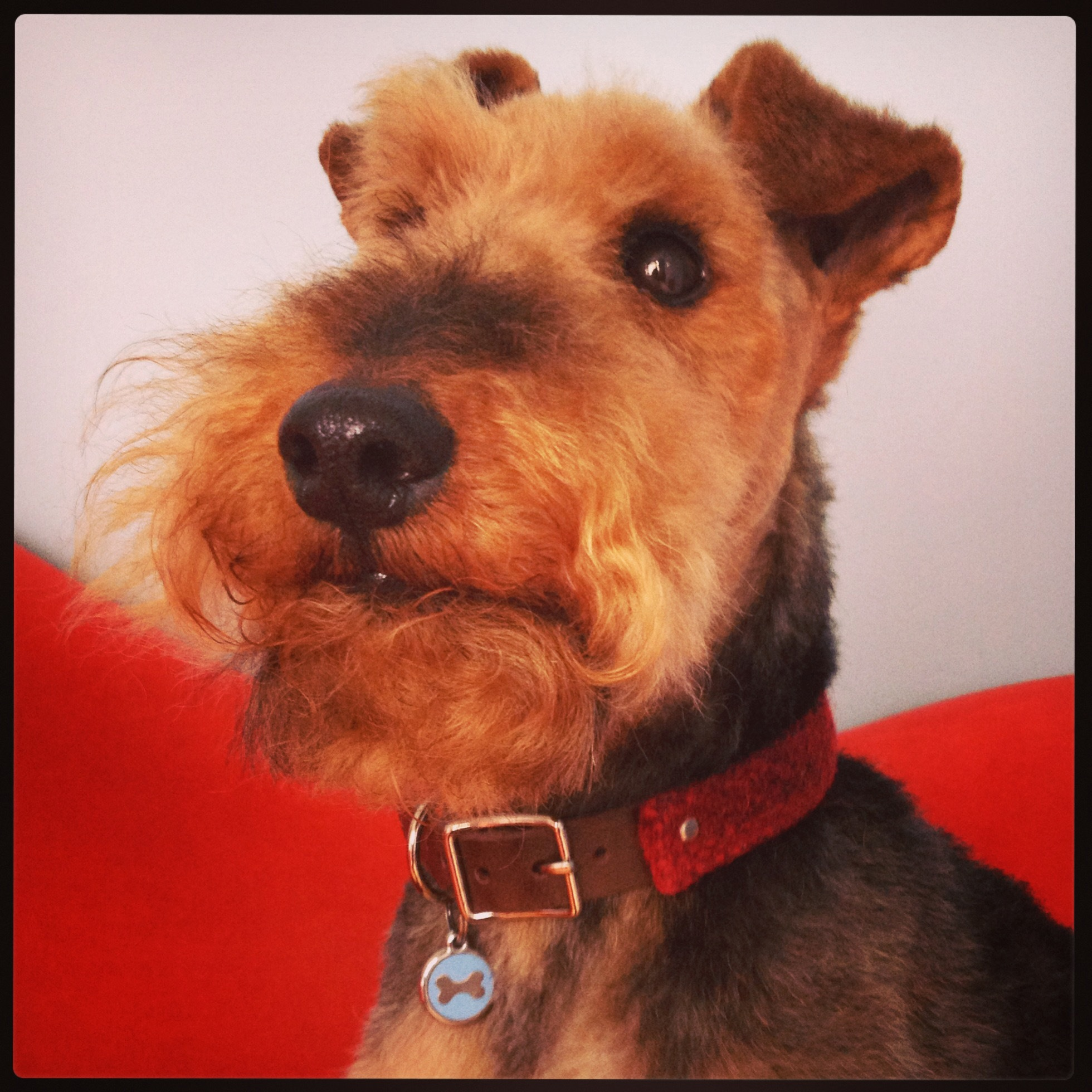 Noodles modelling his Red check Harris Tweed and leather collar