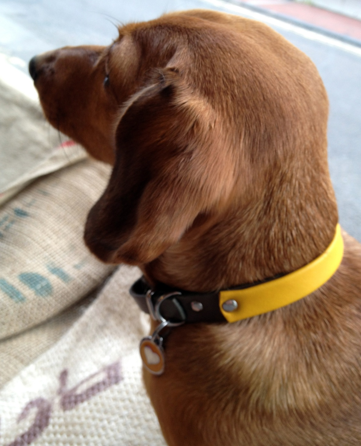 Honey in her Yellow Two-tone collar