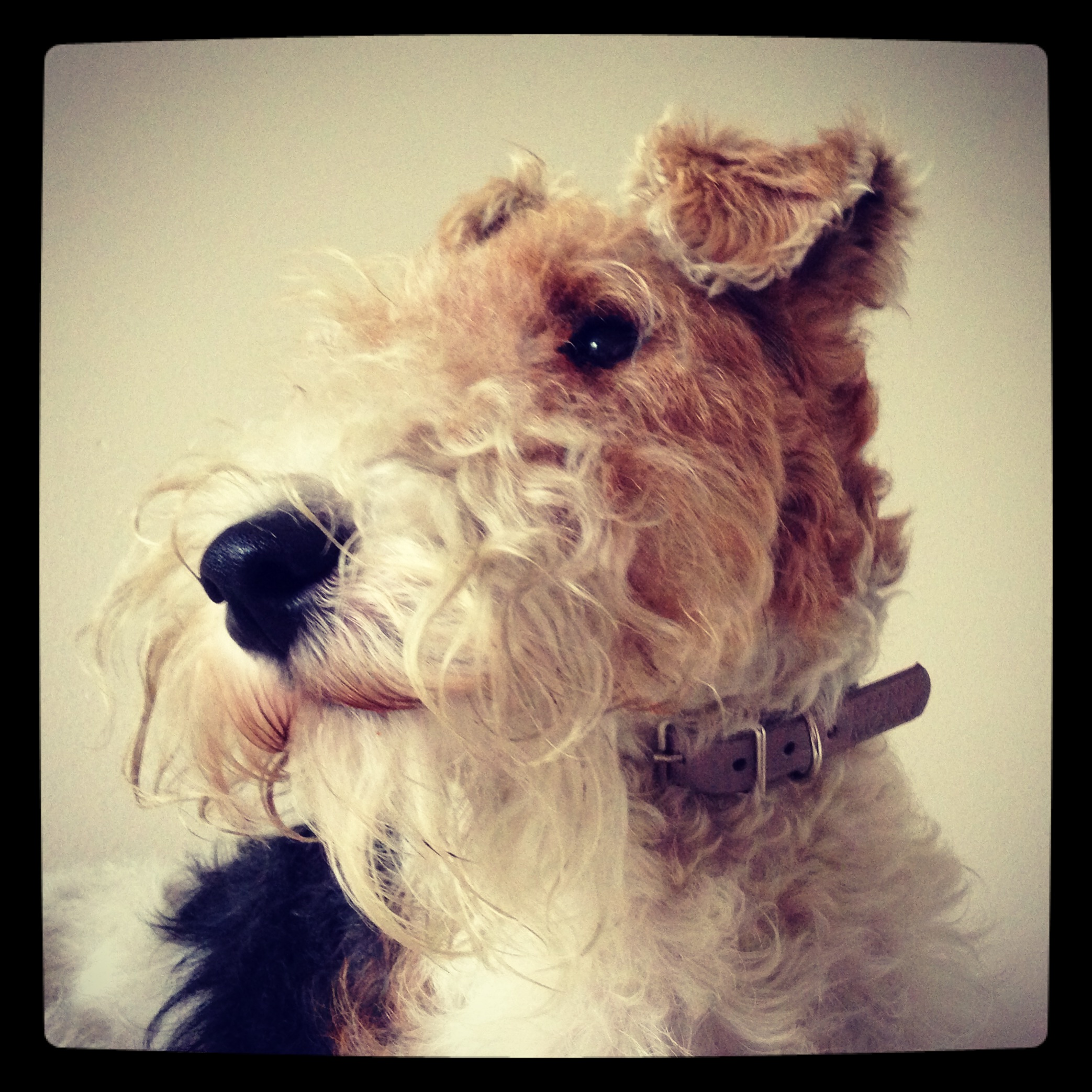 Bertie wearing his white and grey Harris Tweed and stone leather collar