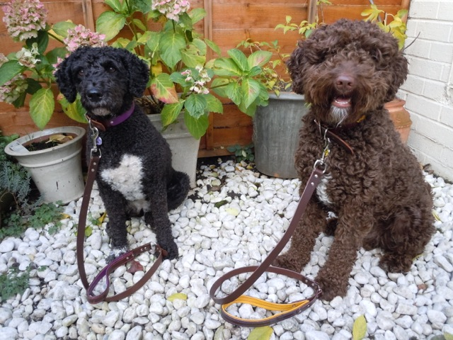 Lola and Jago Spanish Water Dogs looking cool in their city collection collar and leads