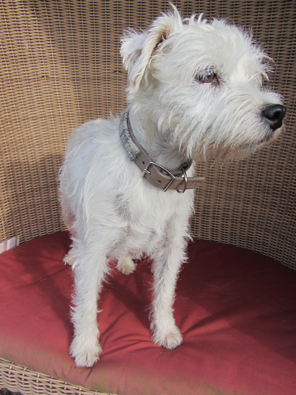 Titine the gorgeous rescue terrier in her limited edition Harris tweed and leather collar in Belgium