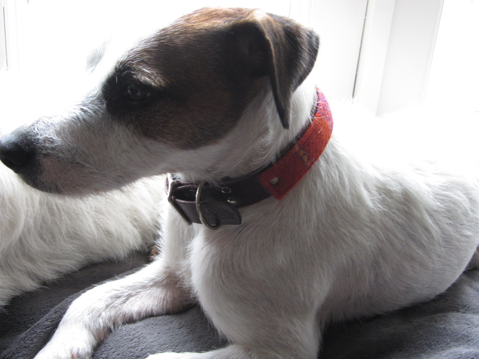Momo the Jack Russel terrier in his Harris tweed and leather collar in Belgium
