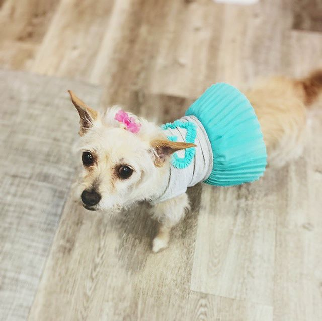 This is Olive the newest member of the family. We adopted her from @cause4sbpaws. She's quite the lovable little cuddle bug. We took her to get groomed today at @hollywoofwoofdoggie @leslieerobertson is excited because it's all even now and she'll wear pretty little clothes. Olive is a proper little princess.