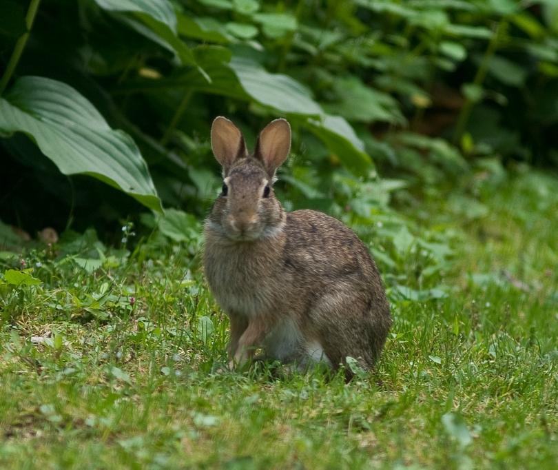 rabbit-in-garden.jpg
