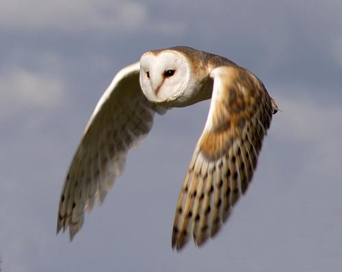 PA Barn Owls: A Grassland Raptor in Decline — Perkiomen Watershed  Conservancy