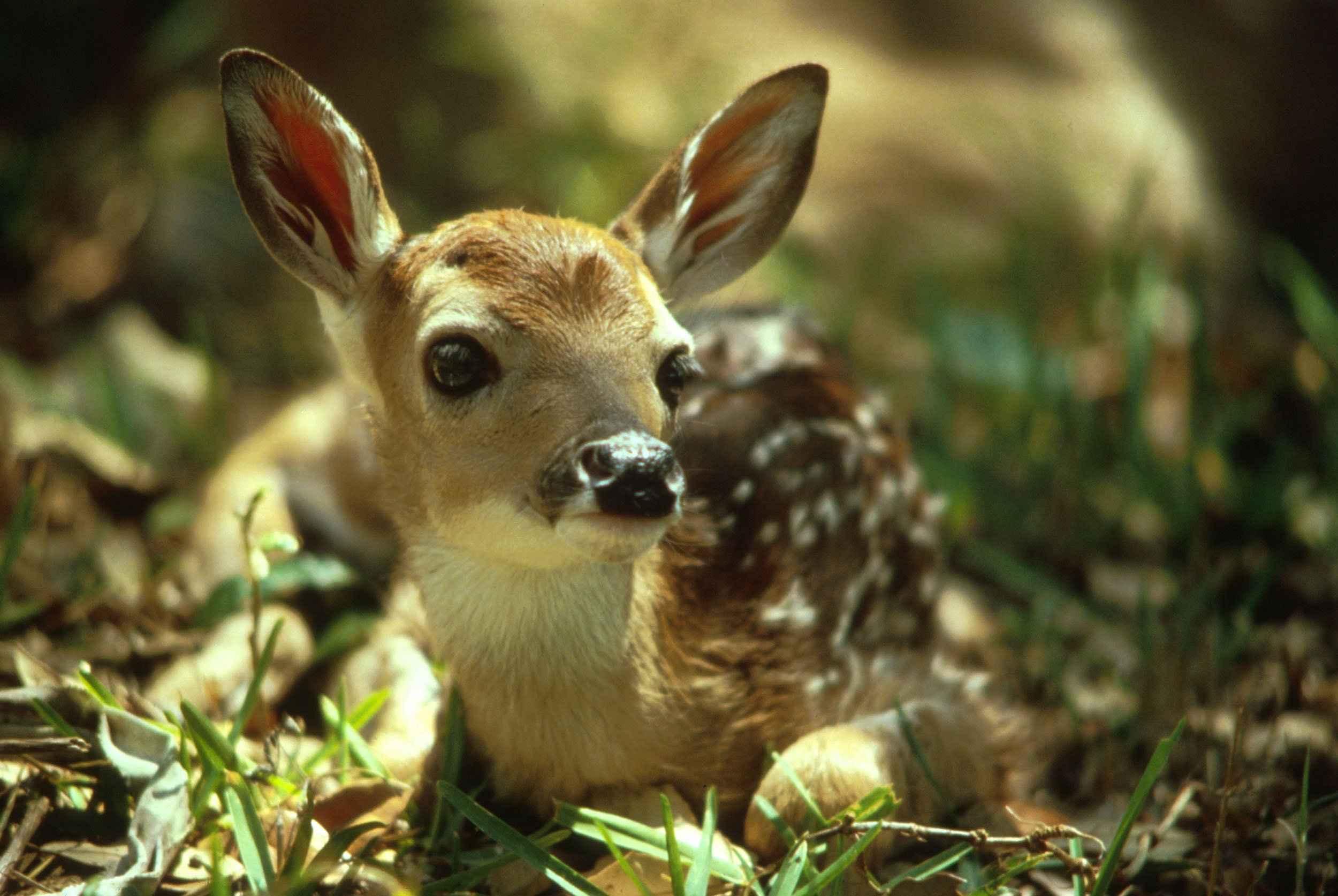 cute-deer-fawn.jpg