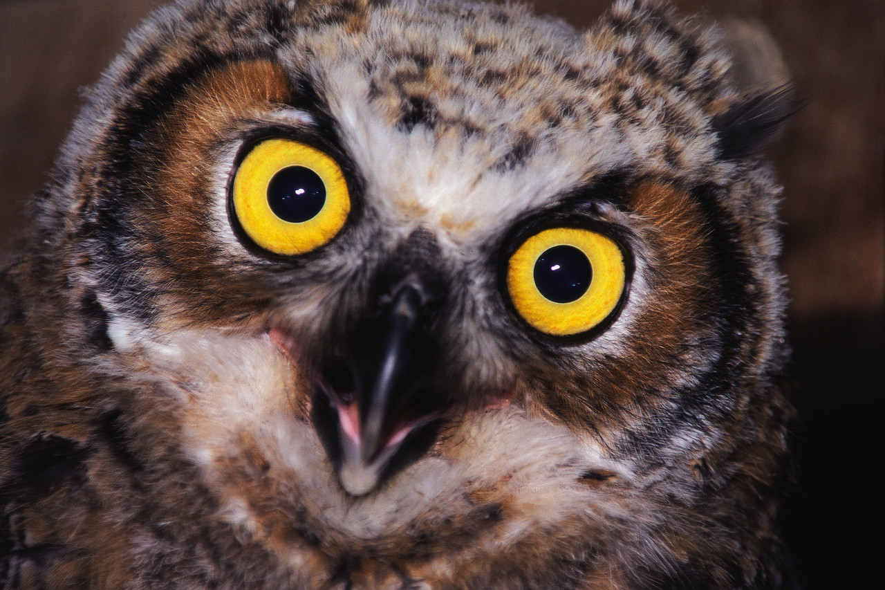 owl mouth open.jpg