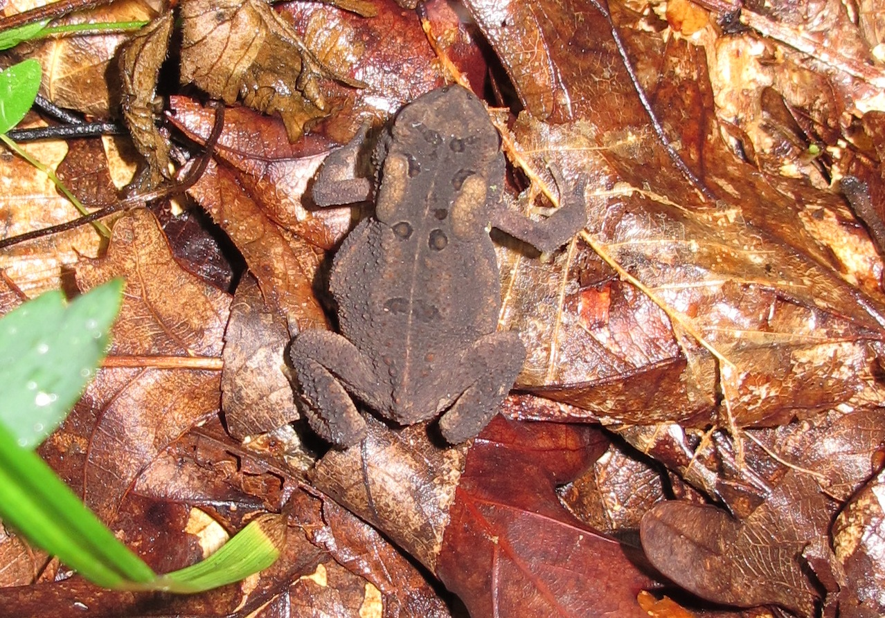 American Toad Photo by Link Davis