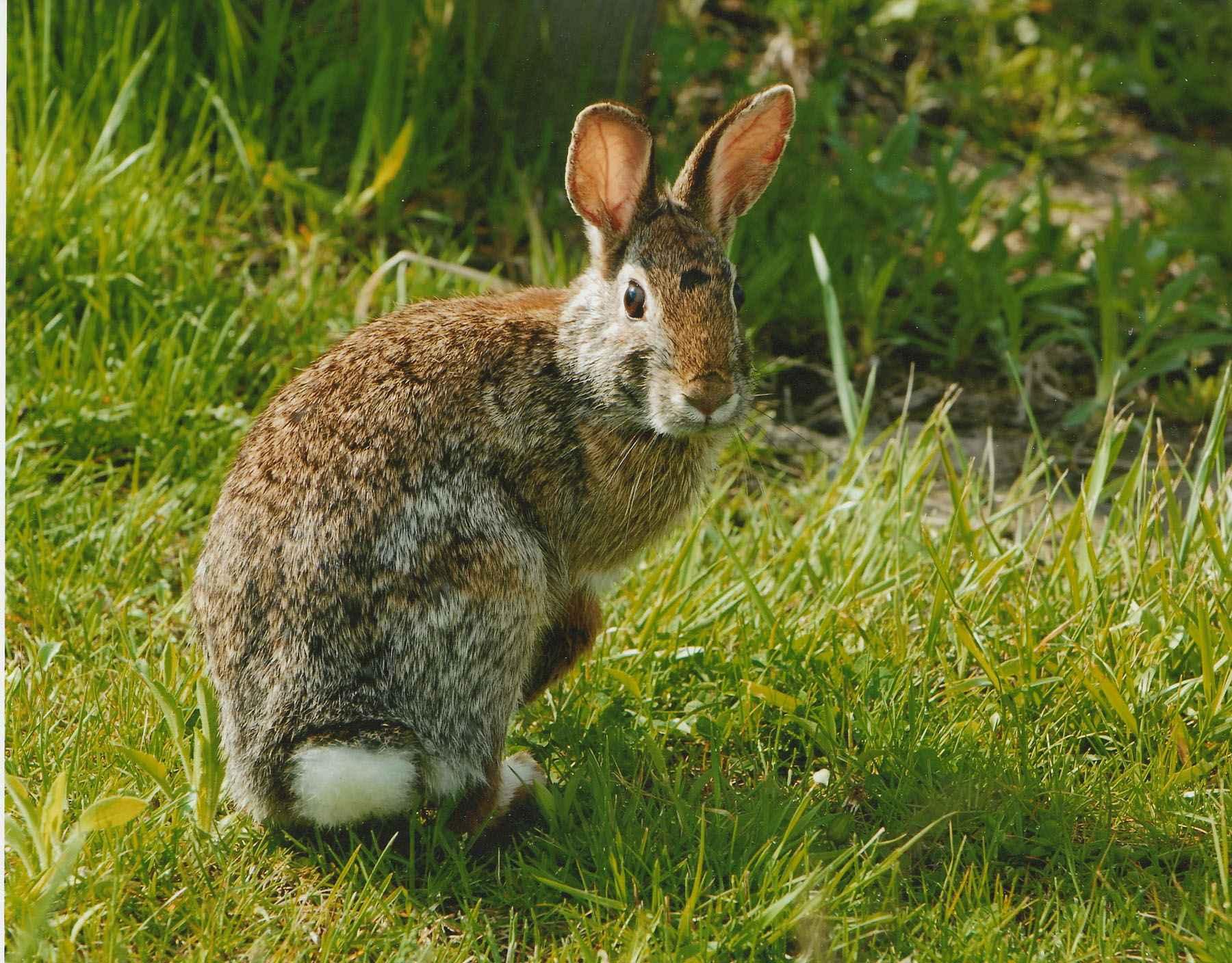 eastern-cottonail-rabbit-close-up-sylvilagus-floridanus.jpg