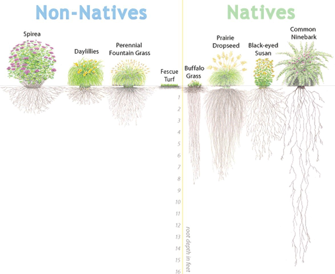 Native plants have larger root systems than non-natives.  These root systems allow them to absorb more stormwater than non-natives and help to reduce erosion.  (Image Credit: Alliance for the Cheasapeake Bay)