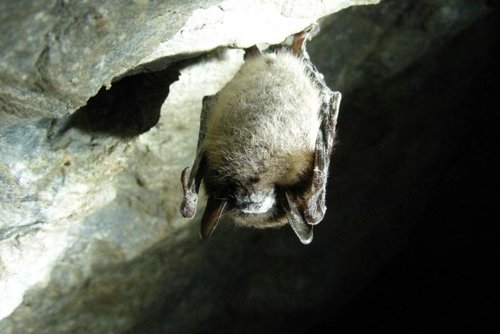 little-brown-bat-in-cave-myotis-lucifugus_w725_h544.jpg