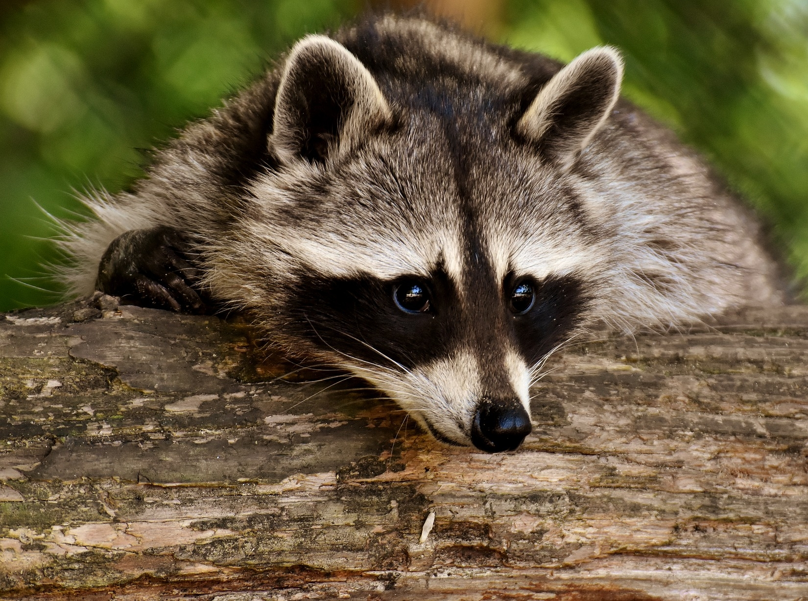 raccoon-3538081_1920.jpg