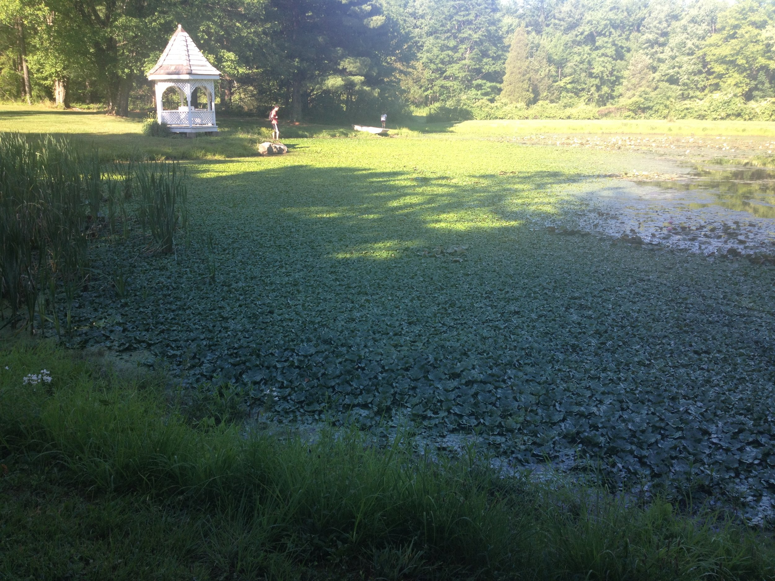 This image shows the infestation at Ruth Pond when it was first identified in June of 2016.