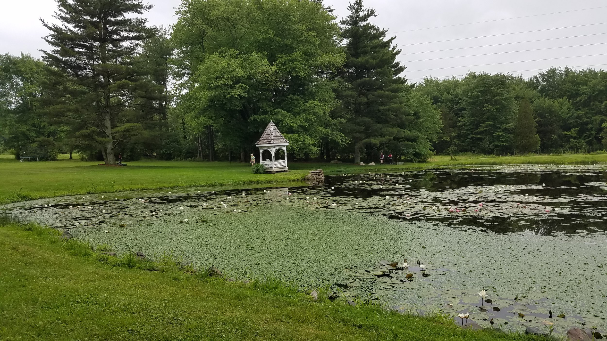 This image shows the infestation at Ruth Pond in June of 2019 after 3 full years of management.