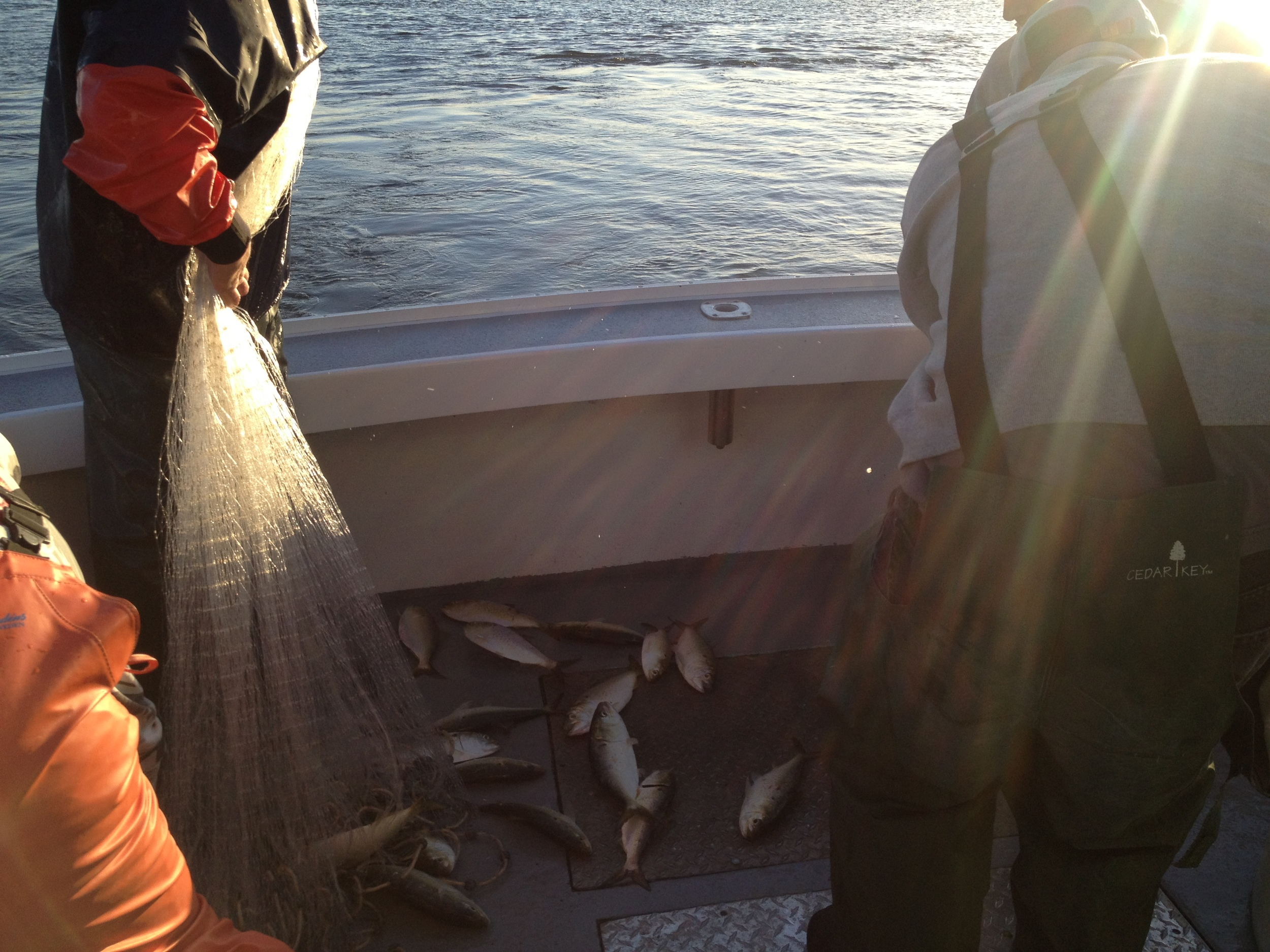 Bringing in the bait - menhaden to ecologists, bunker to fishermen.