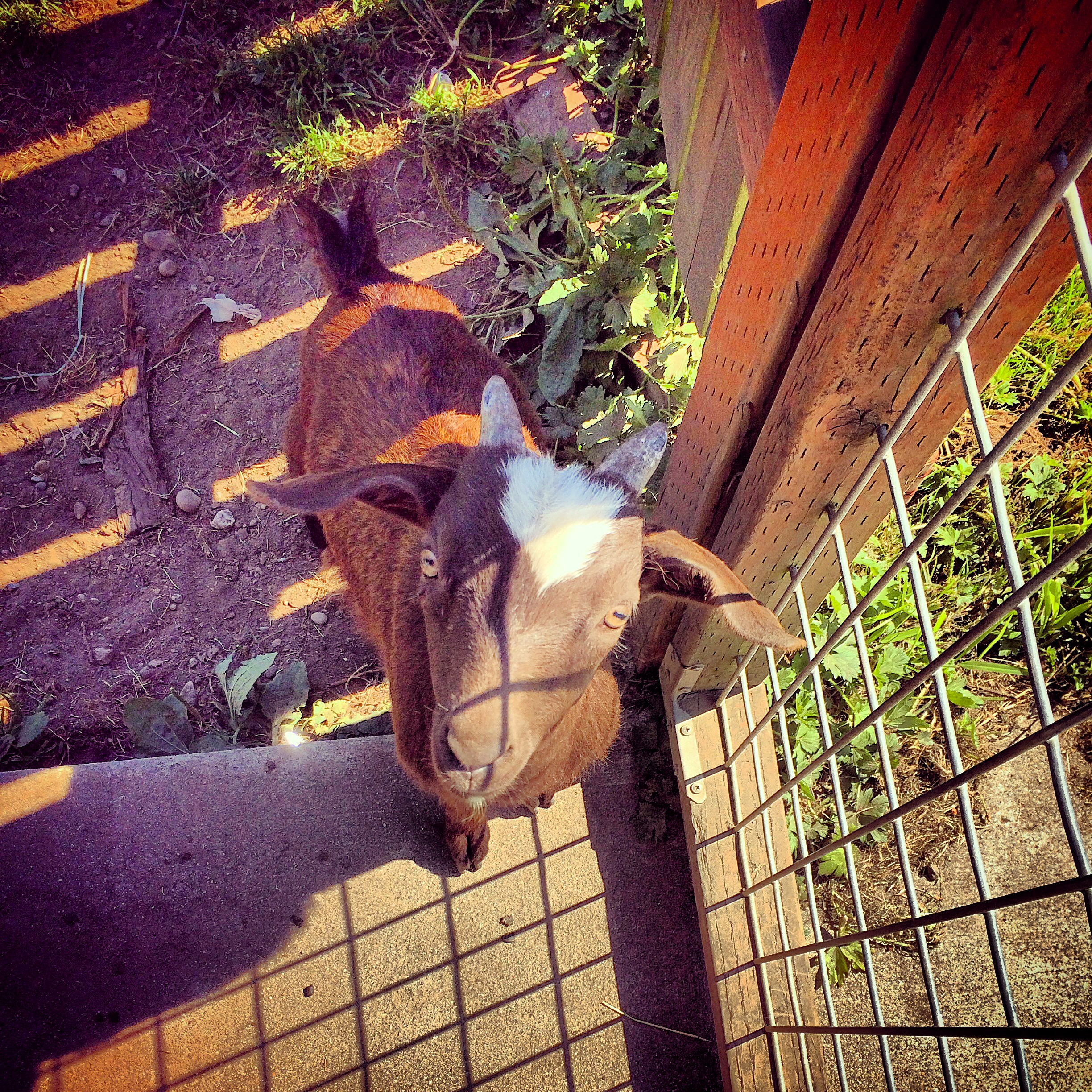 My neighbors got two goats...... Isn't he cute! They named them Apollo andHelo.