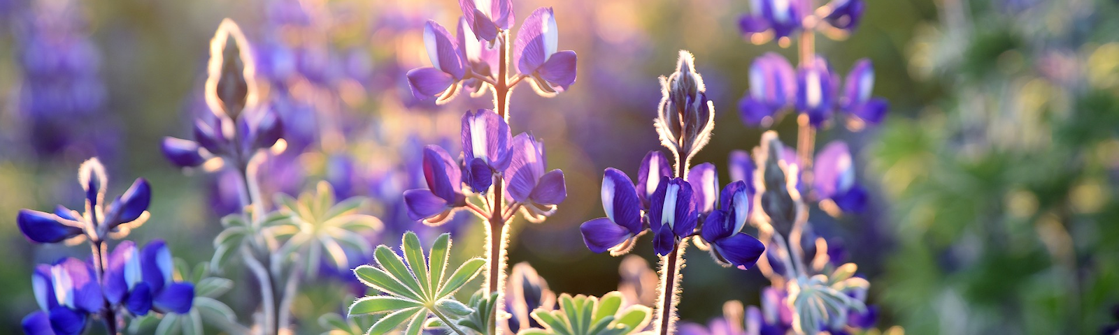 BF-lupine-1600x480.png