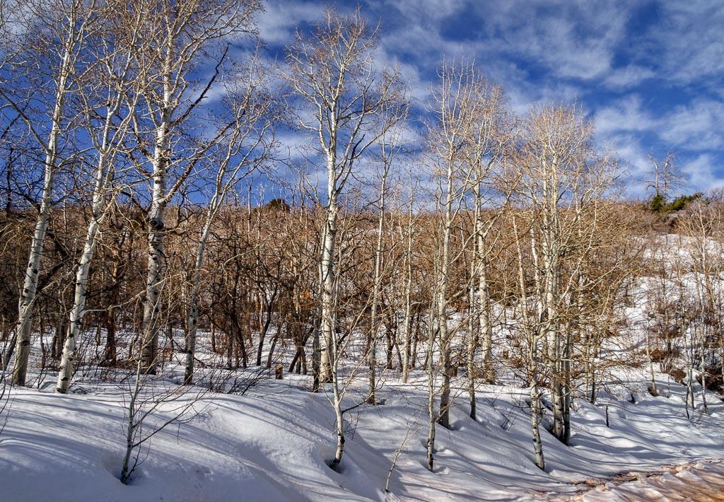Aspens, La Sal Loop, La Sal Mountains, Moab, Utah