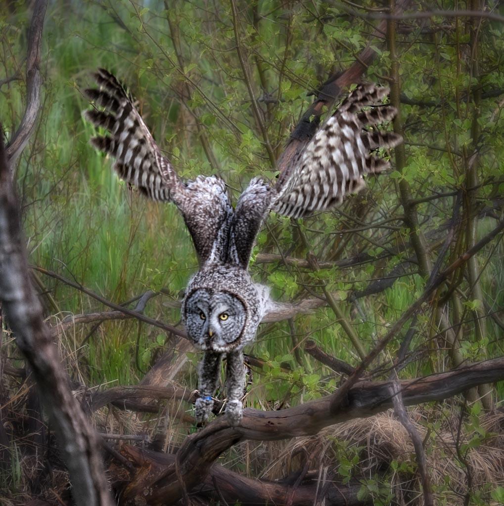 Great Gray Owl, Grand Teton National Park, Wyoming