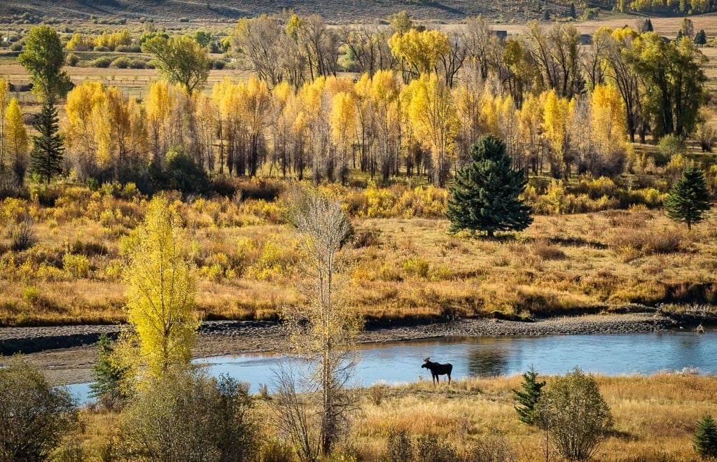 Bull Moose, Buffalo Fork River, Teton Wilderness, Wyoming