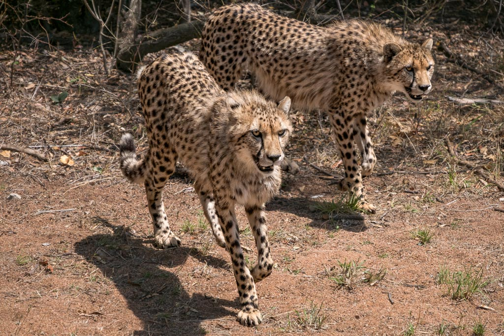 Cheetahs on Prowl