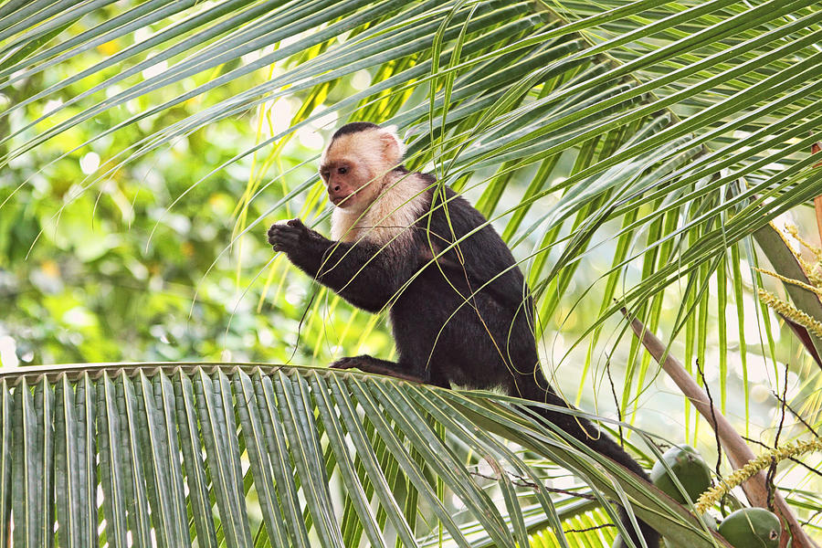 capuchin-monkey-on-a-palm-tree-peggy-collins.jpg