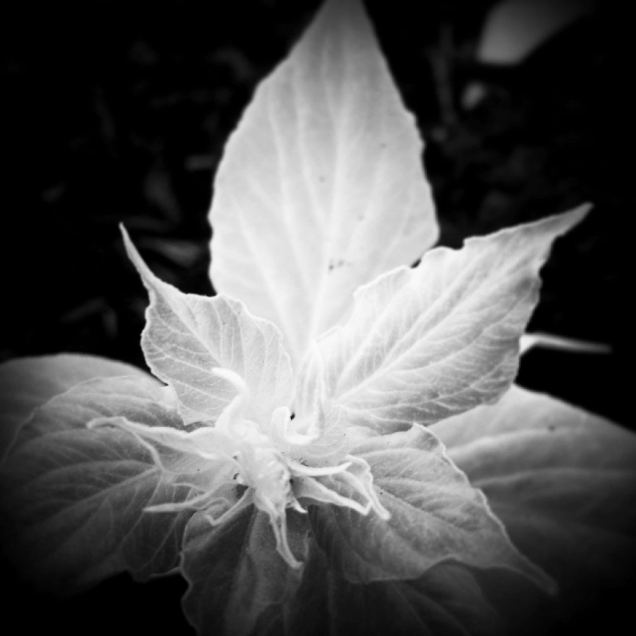 Flower Leaf in Black and White