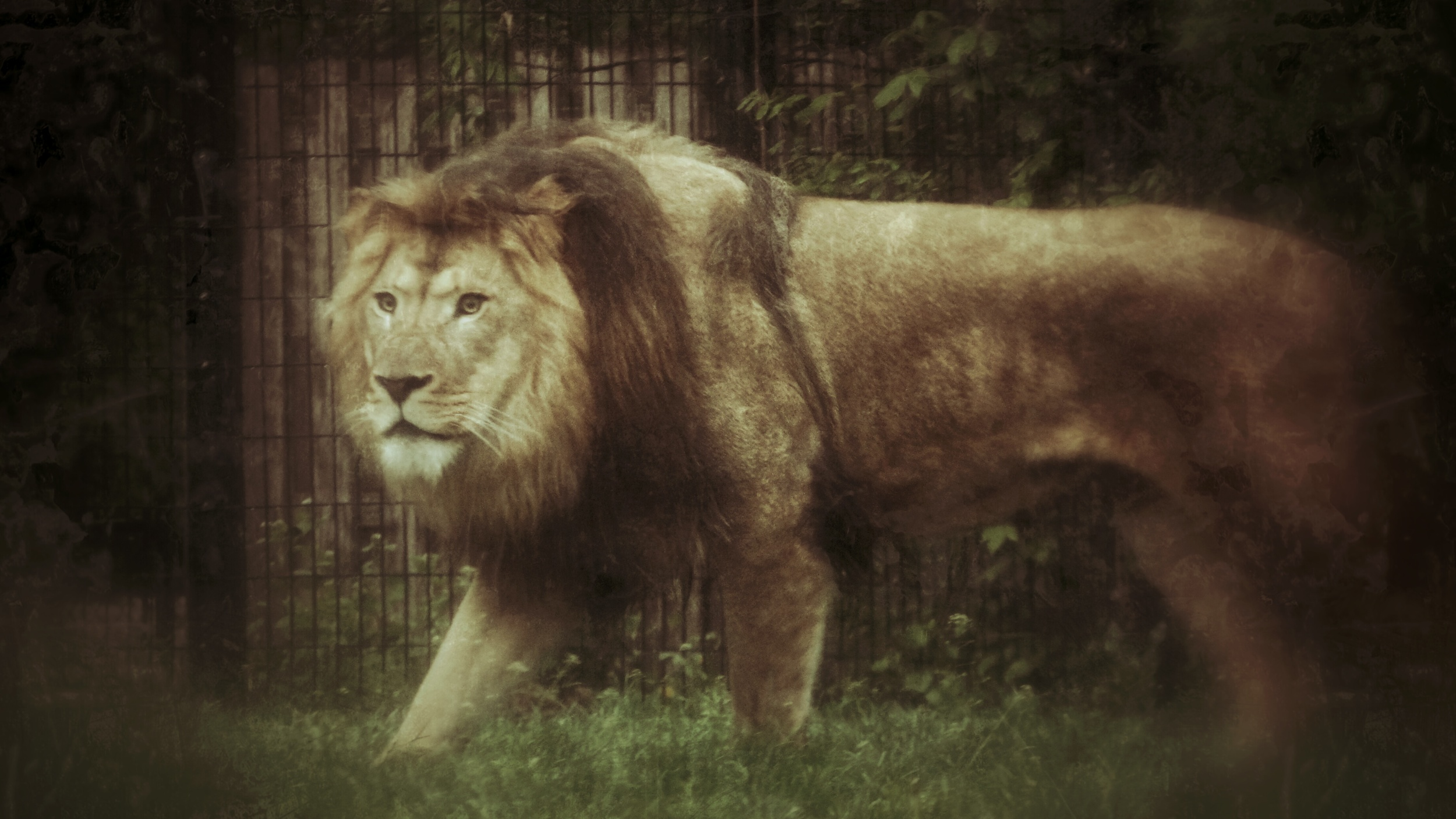 Lion at Blank Park Zoo in Des Moines, Iowa