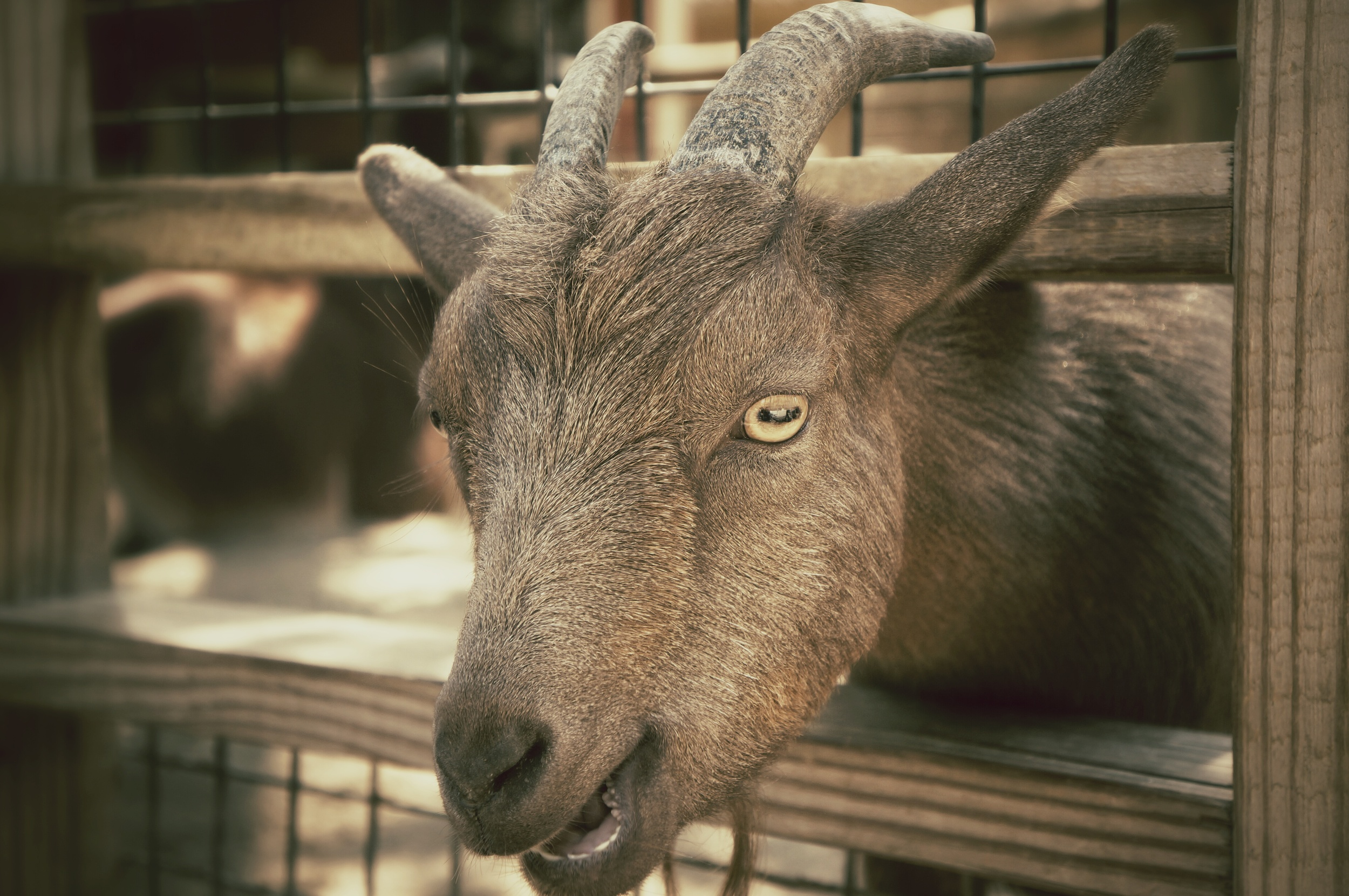 goat at the Blank Park Zoo
